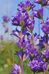 Clustered Bellflower (Campanula glomerata)